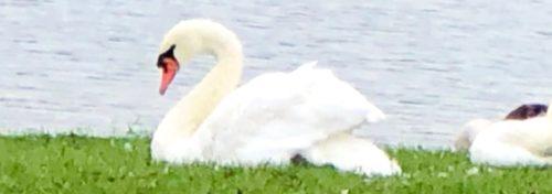 White swan nestled in green grass near water