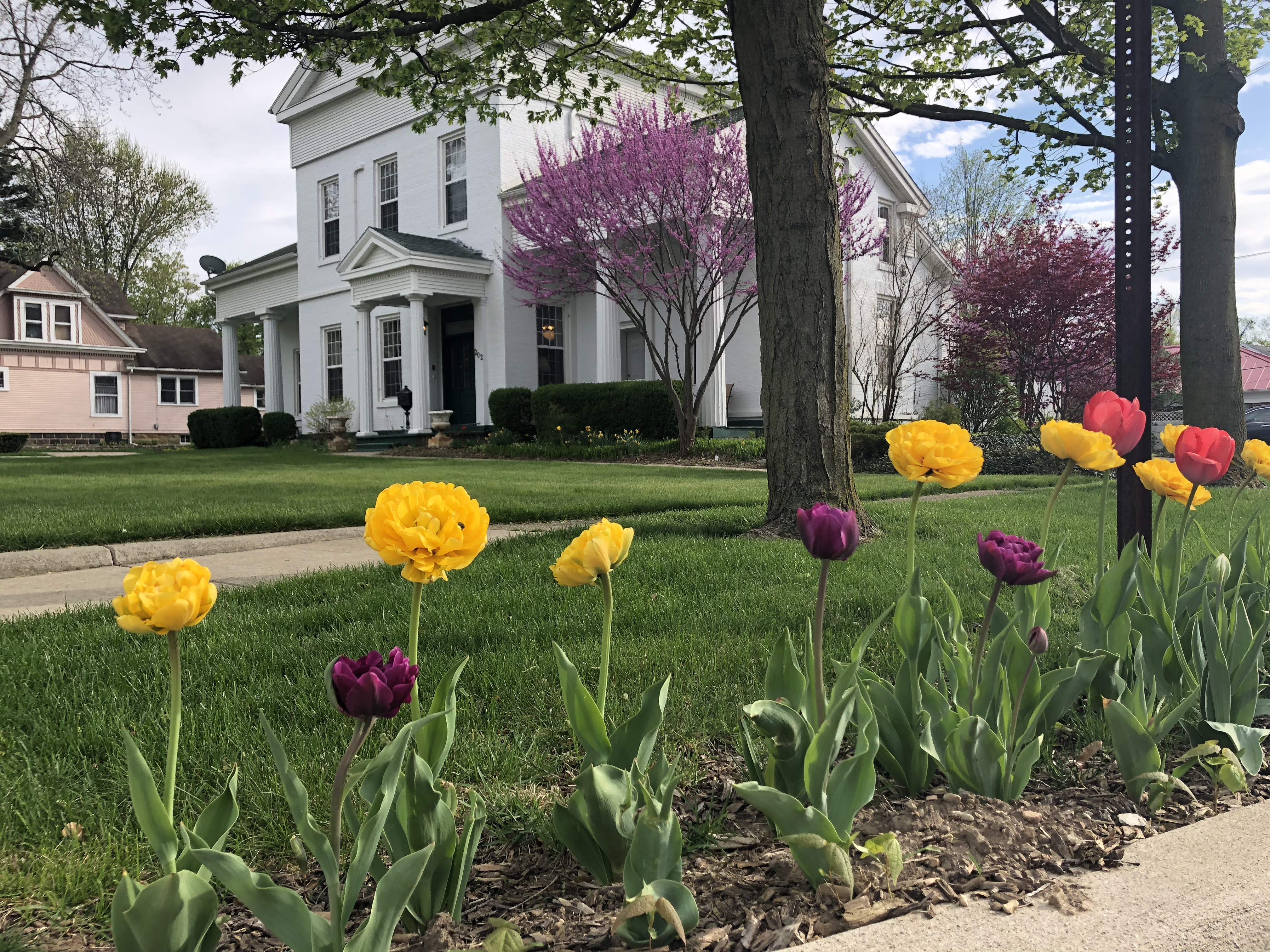 yellow , red, and purple tulips in front of white greek revival style home