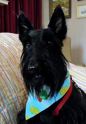Black Scottish Terrier Dog wearing colorful scarf